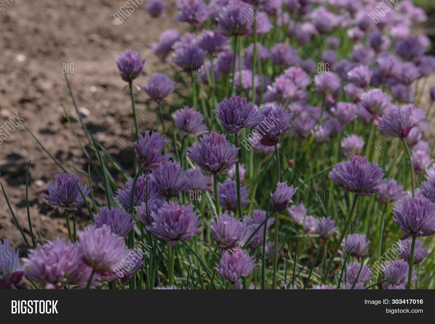 Luxuriant Blooming Flowers Chives Grow Abundantly In A Shaded Garden