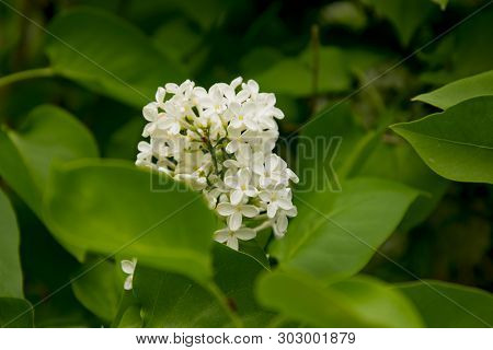 Branch Of Large Flowers White Lilac Among Green Leaves