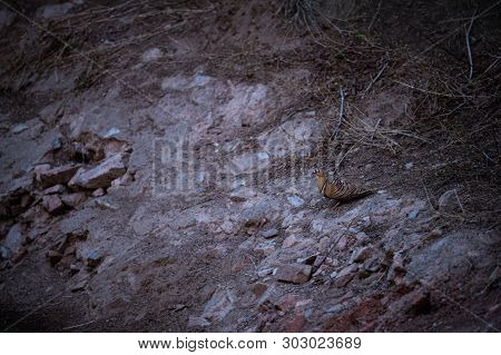 Painted Sandgrouse or Pterocles indicus near waterhole to quench the thirst in winters at jhalana forest, jaipur, rajasthan, india poster