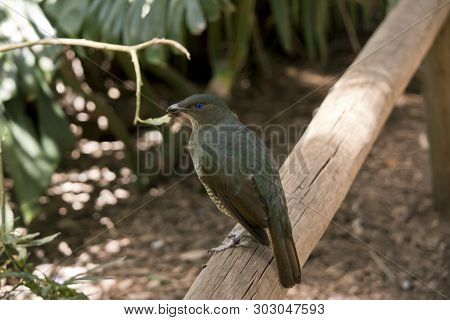 The Satin Bower Bird Is Perched On A Rail
