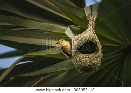 Nests Of A Baya Weaver Colony Suspended From A Palm Tree, The Baya Weaver (ploceus Philippinus) Is A