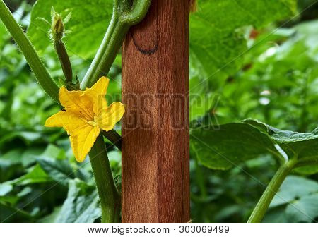 The Cucumbers, Cucumis Sativus, Fruits And Blossoms.