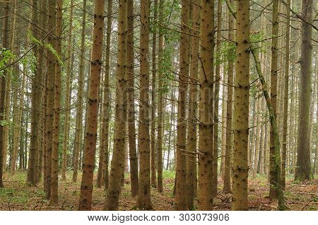 Trunks Of Spruce Trees In Monocultural Timber Forest On Misty Autumn Morning