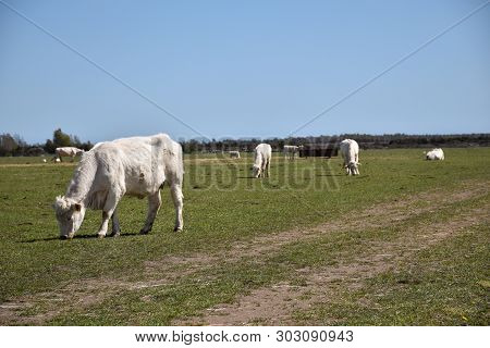Idyllic View With A Herd Grazing White Cattle In A Green Field