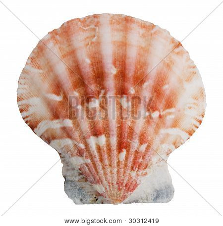 Pink Shell Clam Ocean
