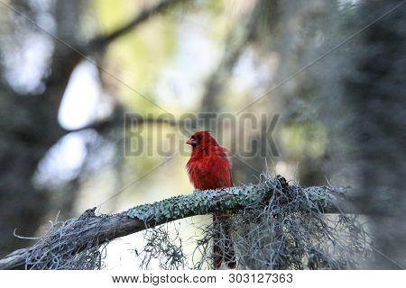 Fluffy Male Red Northern Cardinal Bird Cardinalis Cardinalis Perches On A Tree