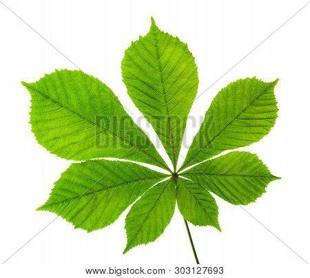 Horse Chestnut Leaf Isolated On White Background.