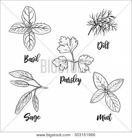 Popular Fresh Culinary Herbs Silhouettes. Basil, Mint, Sage, Dill, Parsley. Ink Pen Sketch Style. Ve