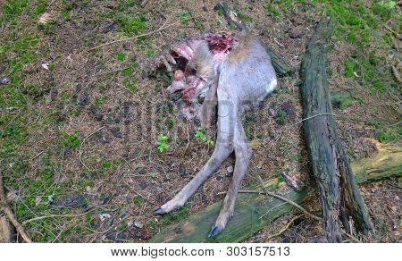 The Remains Of A Deer Caught By A Predator, Czech Republic