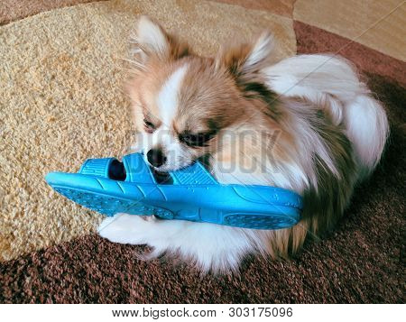 Naughty German Spitz Who Took Stole Blue Slippers