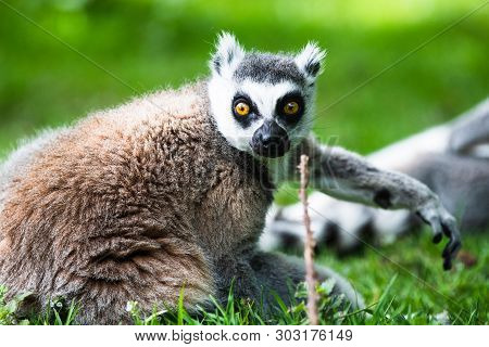Ring-tailed Lemur, Originally From Madagascar, Is Recognisable By Its Black And White-ringed Tail. I