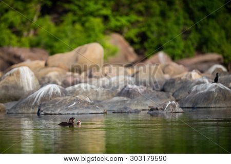 A Habitat Image Of Smooth-coated Otter (lutrogale Pers) Pair Eating Fish In Morning Light With Green