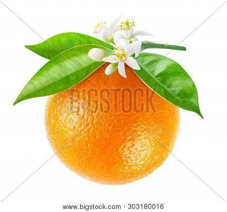 Isolated Orange Fruit On A Branch. Hanging Orange Fruit With Flowers And Leaves Isolated On White Ba