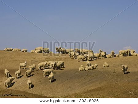 Sheep search for food on drought stricken paddock