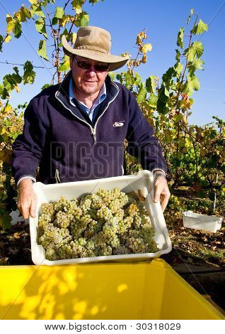 Winemaker loading hand-picked grapes for crushing