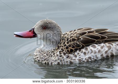 Portrait Of A Cape Teal (anas Capensis)