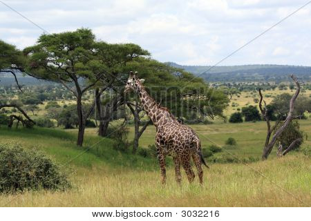 Afrikanische Landschaft mit Giraffe
