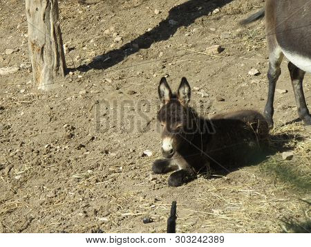 Mule, The Quadruped Arises From The Cross Between A Mare And A Donkey So As To Form A Resistant And