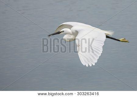 Little Egret, Egretta Garzetta, White Bird Flying In Camargue, France.