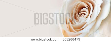 Close Up View Of A Beautiful White Rose With Pastel Pink Tint. Macro Image Of White Rose. Fresh Beau