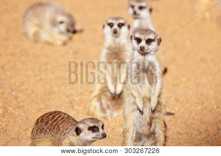 Inquisitive Meerkats Against A Brown Dirt Background