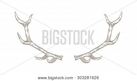 Elegant Deer Or Reindeer Antlers Hand Drawn With Contour Lines On White Background. Detail Of Forest
