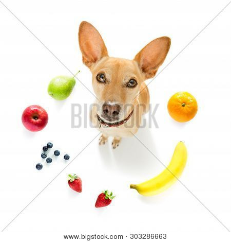 Chihuahua With Guilty Conscience  For Overweight, And To Loose Weight , Isolated On White Background