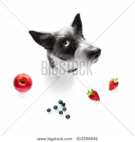 Poodle Dog With Guilty Conscience  For Overweight, And To Loose Weight ,isolated On White Background