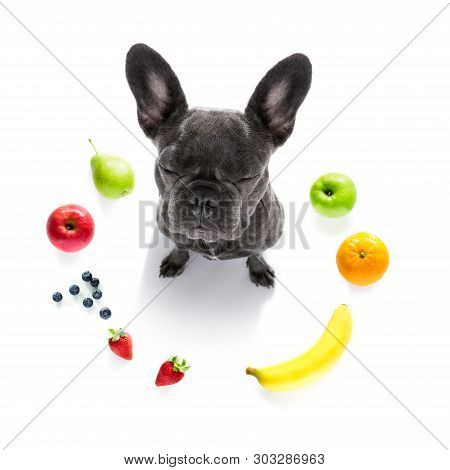 French Bulldog Dog  With Guilty Conscience  For Overweight, And To Loose Weight , Isolated On White