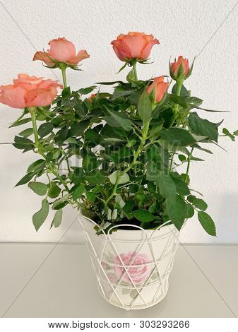 Orange rose flowers and plant in a pot
