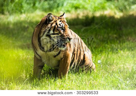 poster of A Sumatran Tiger, which originally inhabits the Indonesian island of Sumatra. It has been classified as critically endangered species since 2008.