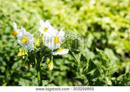 Potatoes Bloom On Summer Day. Growing Potatoes In Garden, Farming