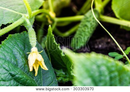 Fresh Shoots Of Cucumber Grow In Greenhouse. Gardening For Growing Vegetables, Farmer Grows Cucumber