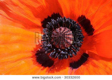 Closeup of oriental poppy.