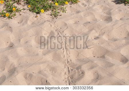 Blue Tongue Lizard Spoor On The Sand. Wild Reptile Footprints On The Ground