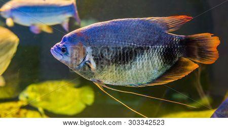 Giant Red Tail Gourami, A Rare Tropical Fish From The Kinabatangan River Basin Of Malaysia