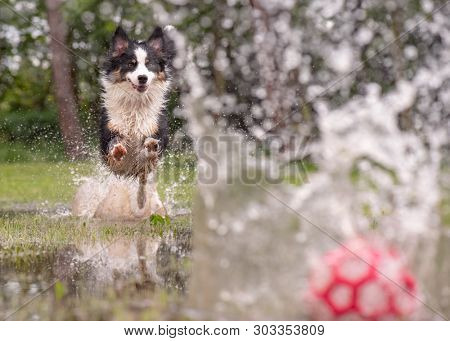 Australian Shepherd Dog playing on green grass at park. Happy wet Aussie with ball toy run on watery meadow after rain, water sprinkles. Dog have fun in puddle at outdoors.