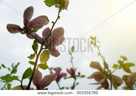 Magnolia Tree Head. Pink Magnolias In Spring Day. Beautiful Pink Magnolias On Blue Sky Background. B