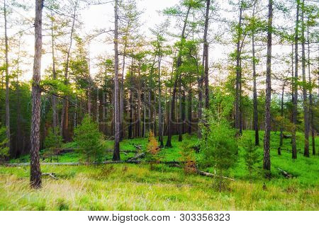 Forest landscape with pine forest trees on the mountain slope . Mountain forest summer nature scene, diffusion filter applied