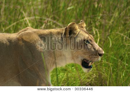 lioness hunting on the Abu Concession, Botswana poster