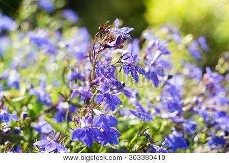 Blue Trailing Lobelia Sapphire flowers or Edging Lobelia. Its Latin name is Lobel. Lobelia erinus in summer garden. poster
