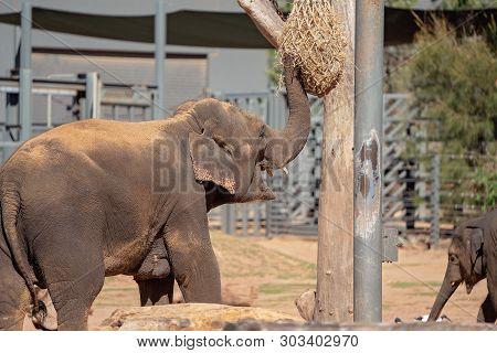An Elephant In Captivity Reaching Up To A Bag Of Hay With Its Trunk For A Feed
