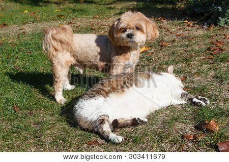 Red Lhasa Apso Dog And Tabby Cat Lying In A Garden