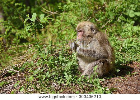 Monkey In Kamikochi National Park, Kamikochi, Japan.
