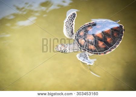 Green Turtle Farm And Swimming On Water Pond / Hawksbill Sea Turtle Little