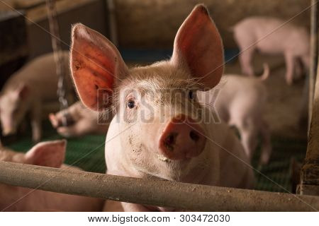 Portrait Of Young Curious Pig Standing On Metal Fence In Modern Pigpen