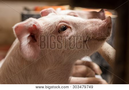 Cute Curious Piglet Looking Through Fence In Pigpen