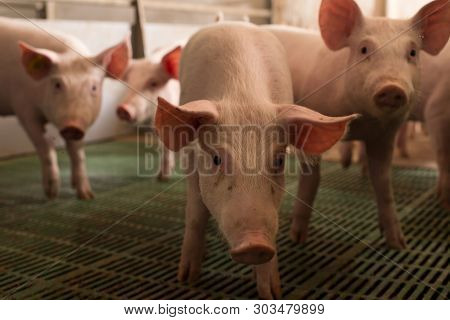 Group Of Cute Piglets In Modern Pigpen, Looking At Camera