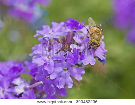 Flower Fly Feeding On A Purple Elizabeth Earle Flowers In Garden
