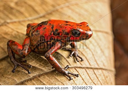 Red poison dart frog Oophaga histrionica from the tropical rain forest of Colombia. A poisonous small jungle animal.